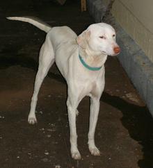 Know Our Own Dog Breeds, Kombai, Kanni, Alangu, Chippiparai