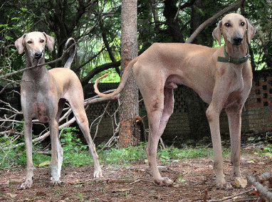 Know Our Own Dog Breeds, Kombai, Kanni, Alangu, Chippiparai