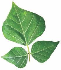 mullumurungai leaf